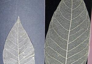 Yazı İçin Yaprak- DİFENBAHYA ve KESTANE Yaprak